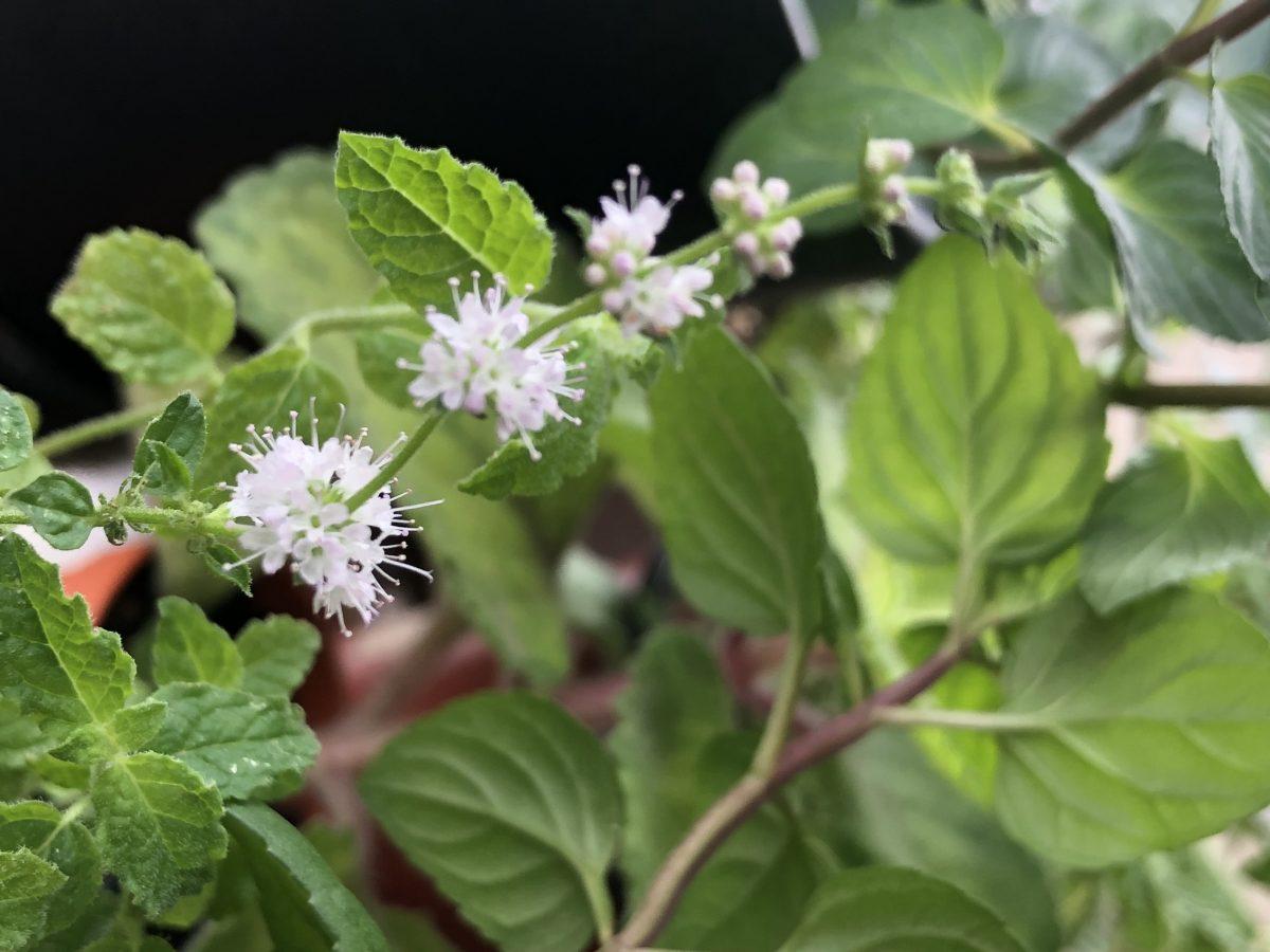Strawberry mint flowers